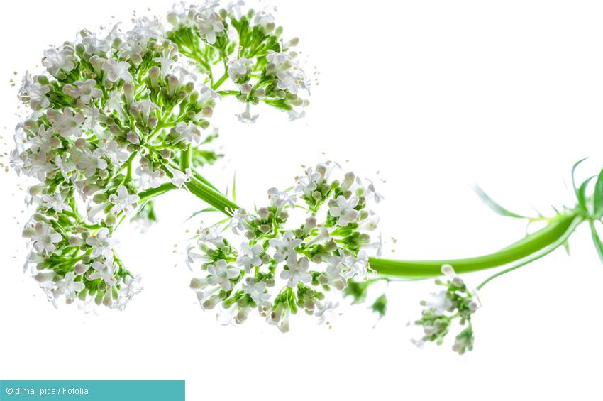 Baldrian - ein pflanzliches Medikament gegen Depression