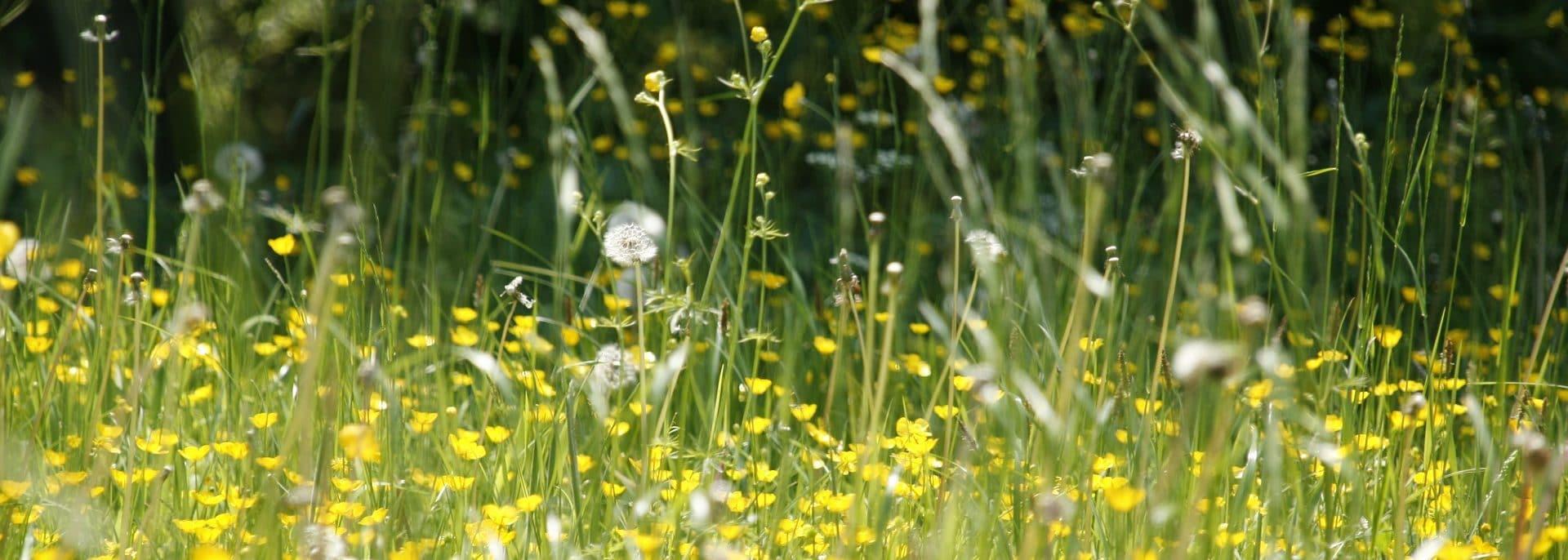 Wiese, Pollen, Blütenstaub