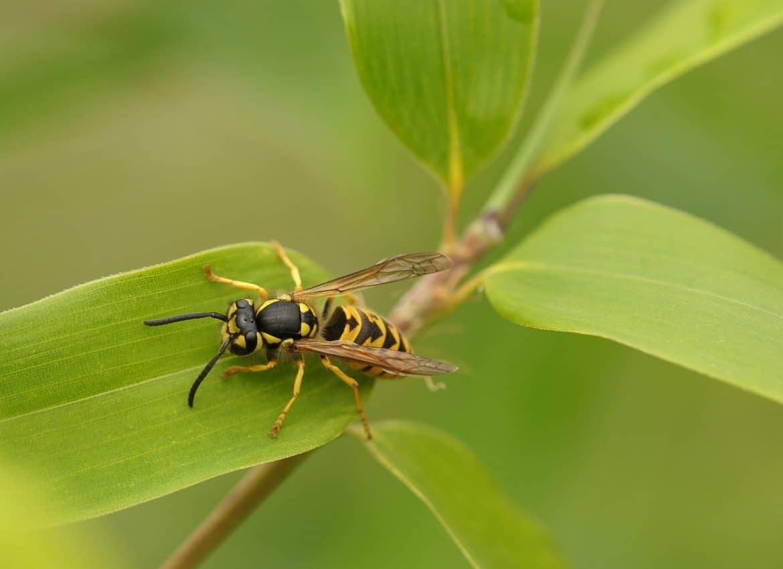Insektenstichallergie