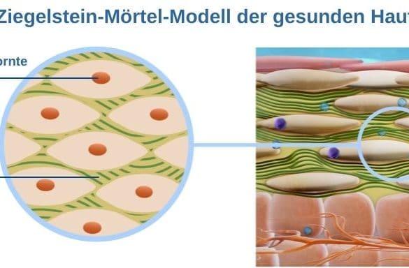 Ziegelstein-Mörtel-Modell der gesunden Haut